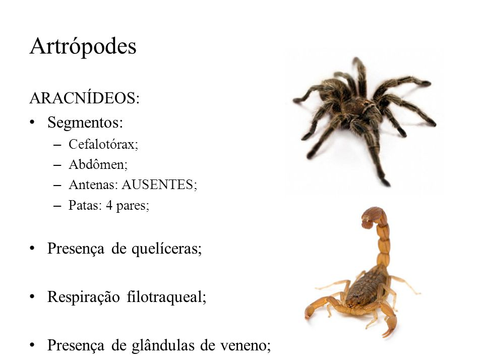 Artrópodes ARACNÍDEOS: Segmentos: Presença de quelíceras;