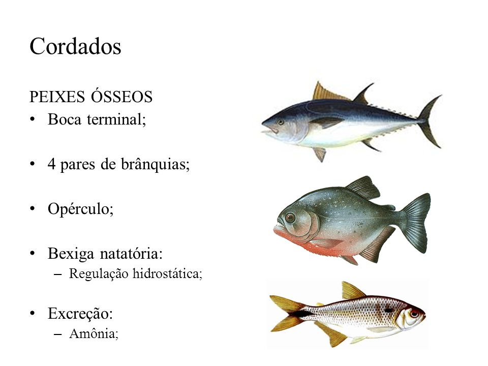 Cordados PEIXES ÓSSEOS Boca terminal; 4 pares de brânquias; Opérculo;