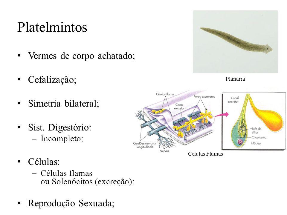 Platelmintos Vermes de corpo achatado; Cefalização;