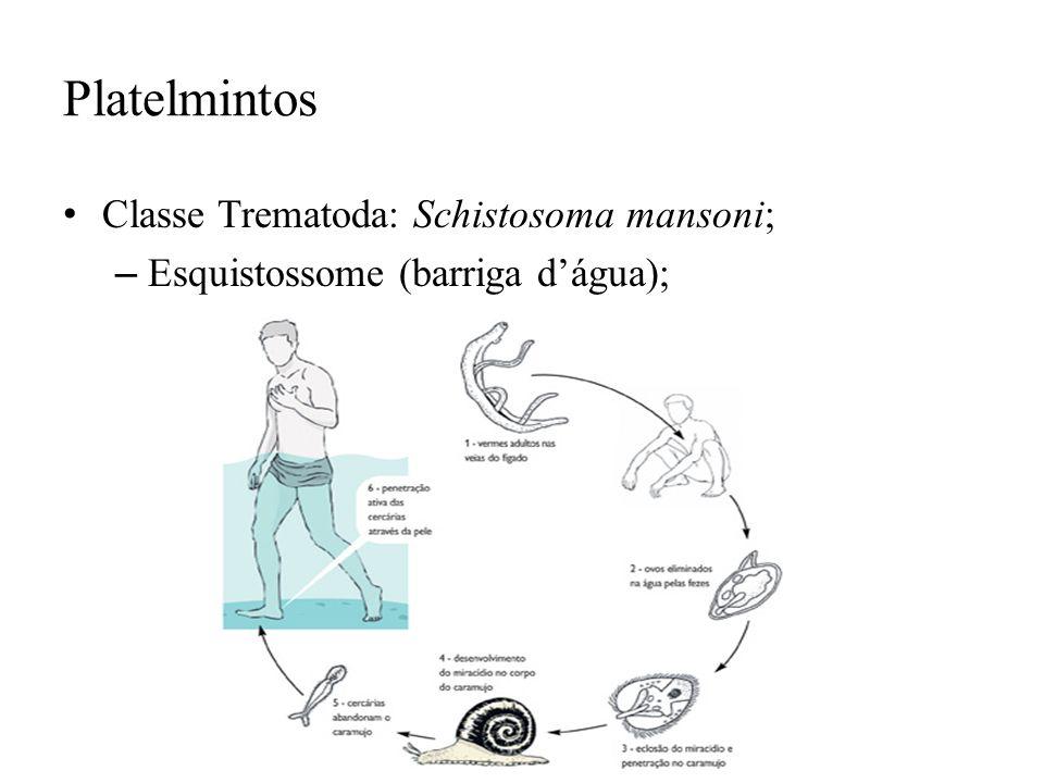 Platelmintos Classe Trematoda: Schistosoma mansoni;
