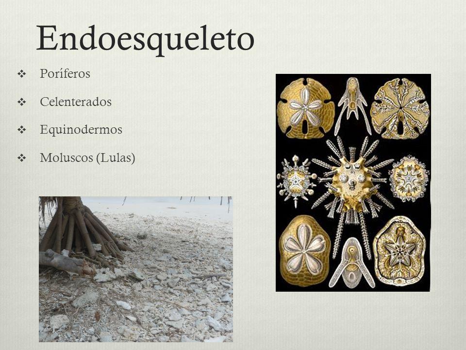 Endoesqueleto Poríferos Celenterados Equinodermos Moluscos (Lulas)