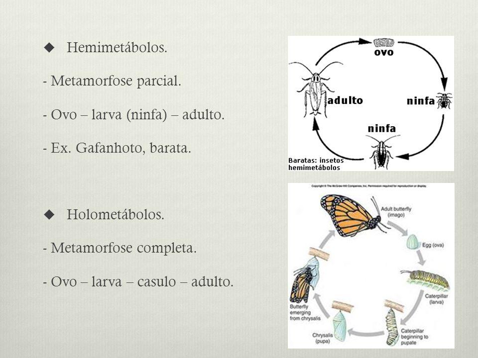 Hemimetábolos. - Metamorfose parcial. - Ovo – larva (ninfa) – adulto. - Ex. Gafanhoto, barata. Holometábolos.