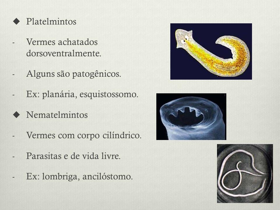 Platelmintos Vermes achatados dorsoventralmente. Alguns são patogênicos. Ex: planária, esquistossomo.