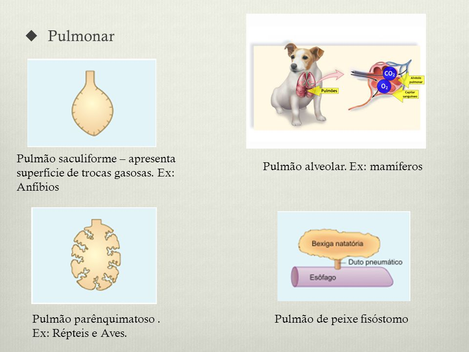 Pulmonar Pulmão saculiforme – apresenta superfície de trocas gasosas. Ex: Anfíbios. Pulmão alveolar. Ex: mamíferos.
