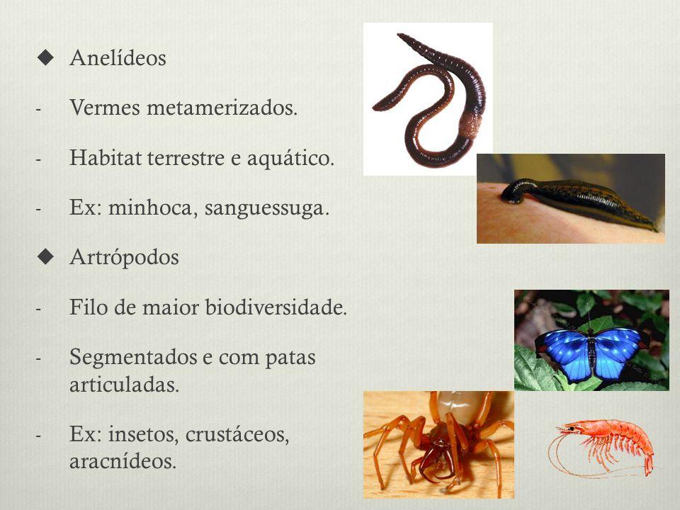 Anelídeos Vermes metamerizados. Habitat terrestre e aquático. Ex: minhoca, sanguessuga. Artrópodos.