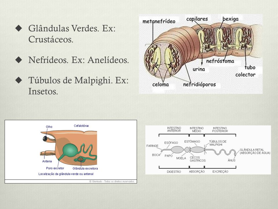 Glândulas Verdes. Ex: Crustáceos.