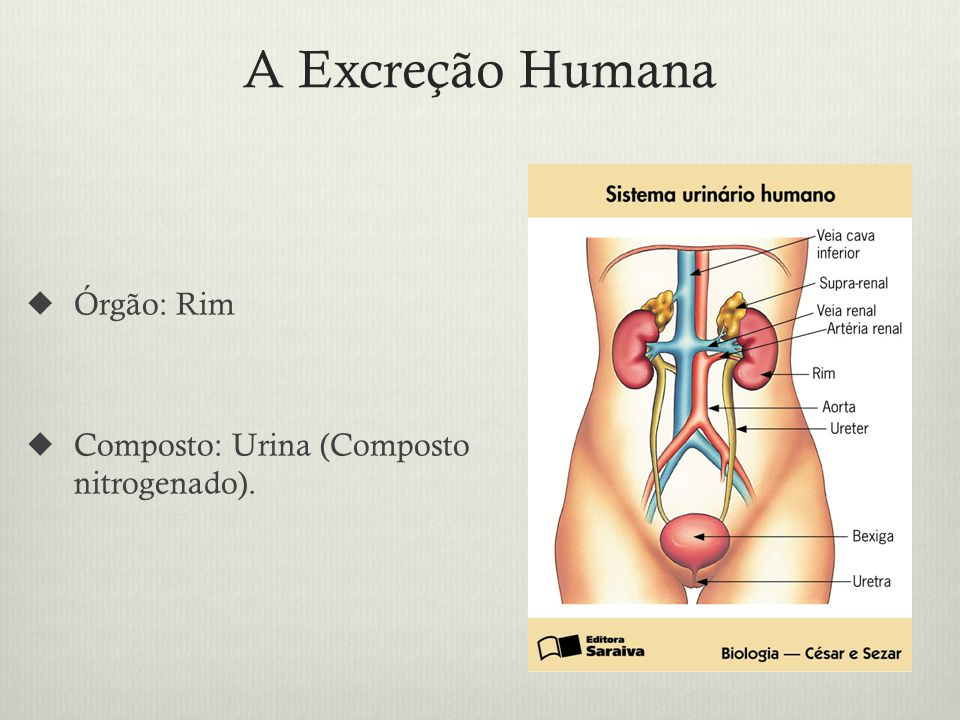 A Excreção Humana Órgão: Rim Composto: Urina (Composto nitrogenado).
