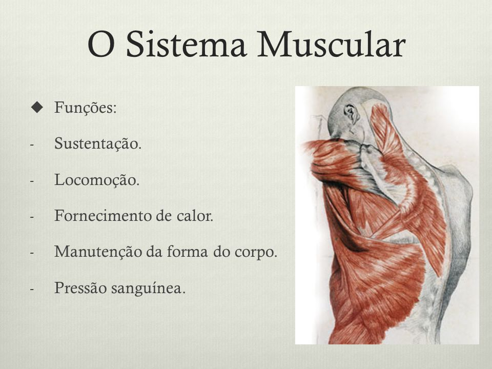 O Sistema Muscular Funções: Sustentação. Locomoção.