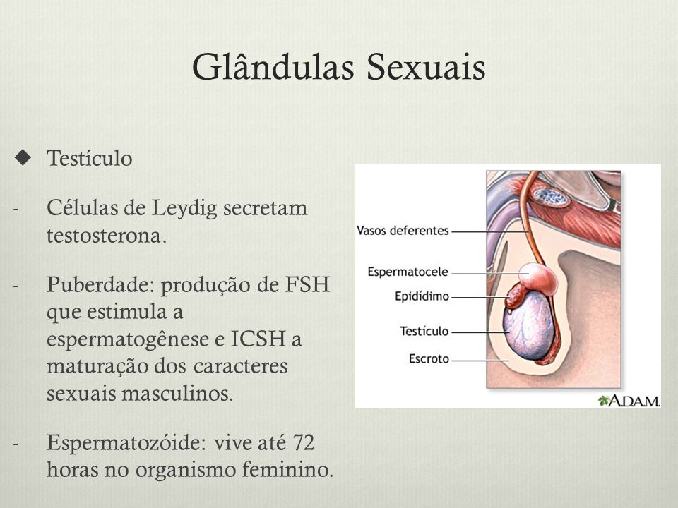 Glândulas Sexuais Testículo Células de Leydig secretam testosterona.