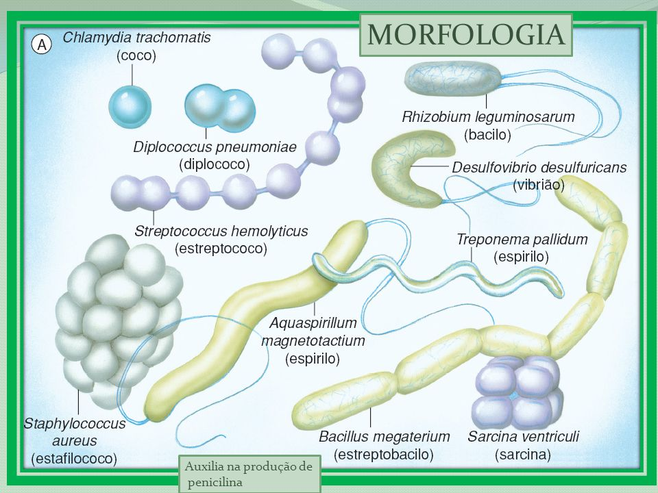 MORFOLOGIA Auxilia na produção de penicilina