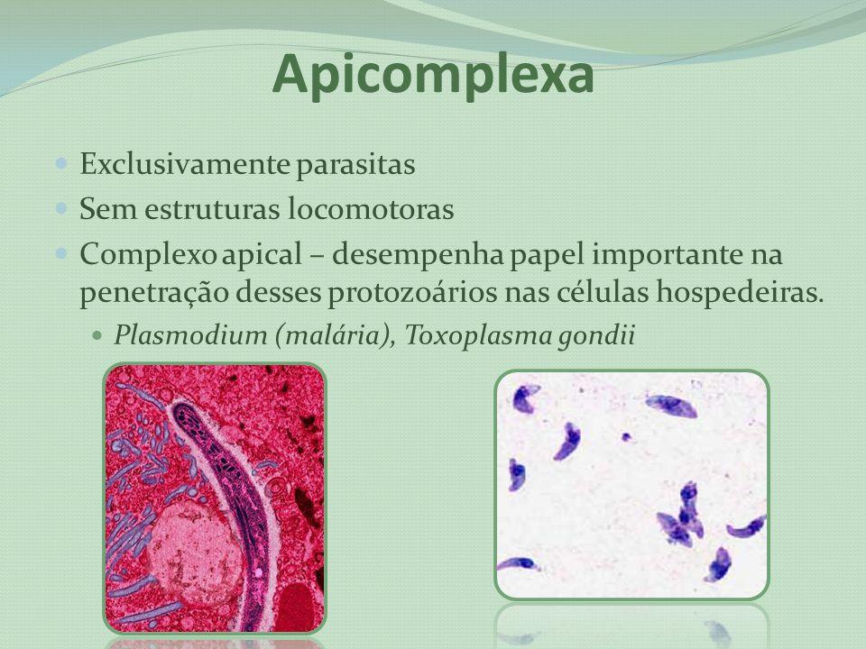 Apicomplexa Exclusivamente parasitas Sem estruturas locomotoras