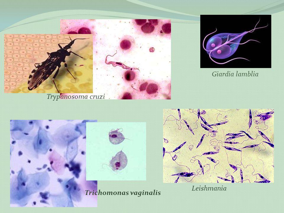 Giardia lamblia Trypanosoma cruzi Leishmania Trichomonas vaginalis