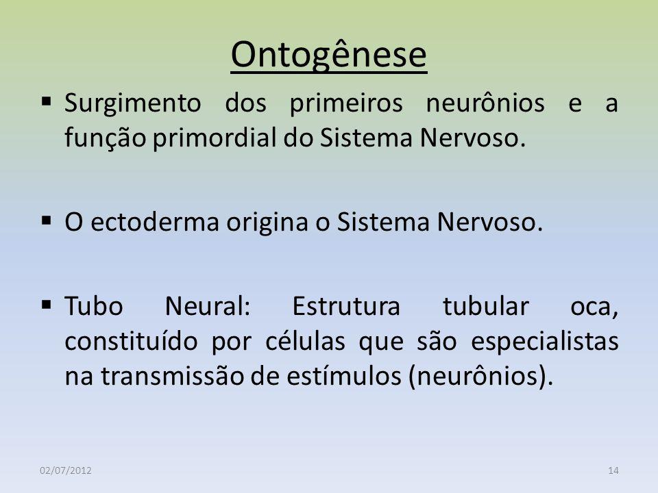 Ontogênese Surgimento dos primeiros neurônios e a função primordial do Sistema Nervoso. O ectoderma origina o Sistema Nervoso.