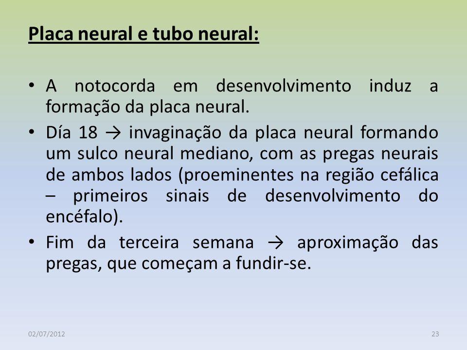 Placa neural e tubo neural: