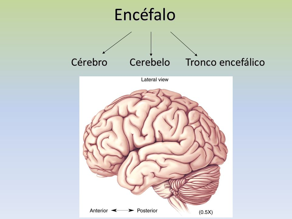 Encéfalo Cérebro Cerebelo Tronco encefálico