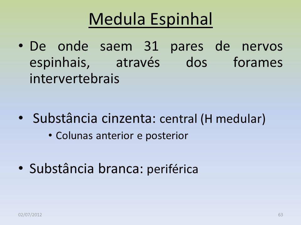 Medula Espinhal De onde saem 31 pares de nervos espinhais, através dos forames intervertebrais. Substância cinzenta: central (H medular)