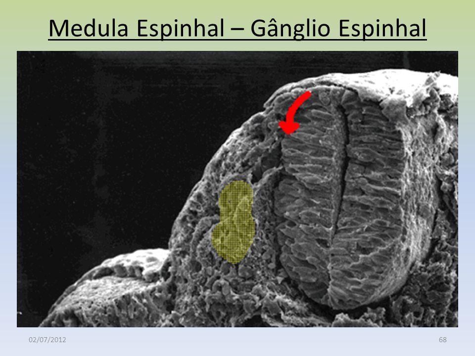 Medula Espinhal – Gânglio Espinhal