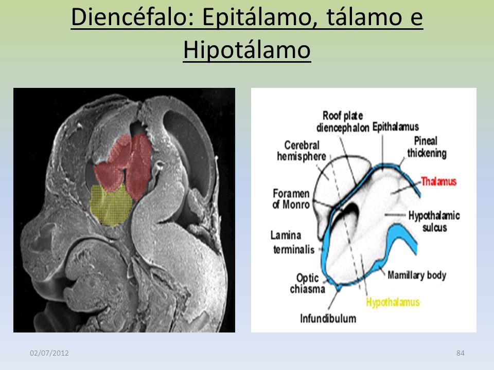 Diencéfalo: Epitálamo, tálamo e Hipotálamo