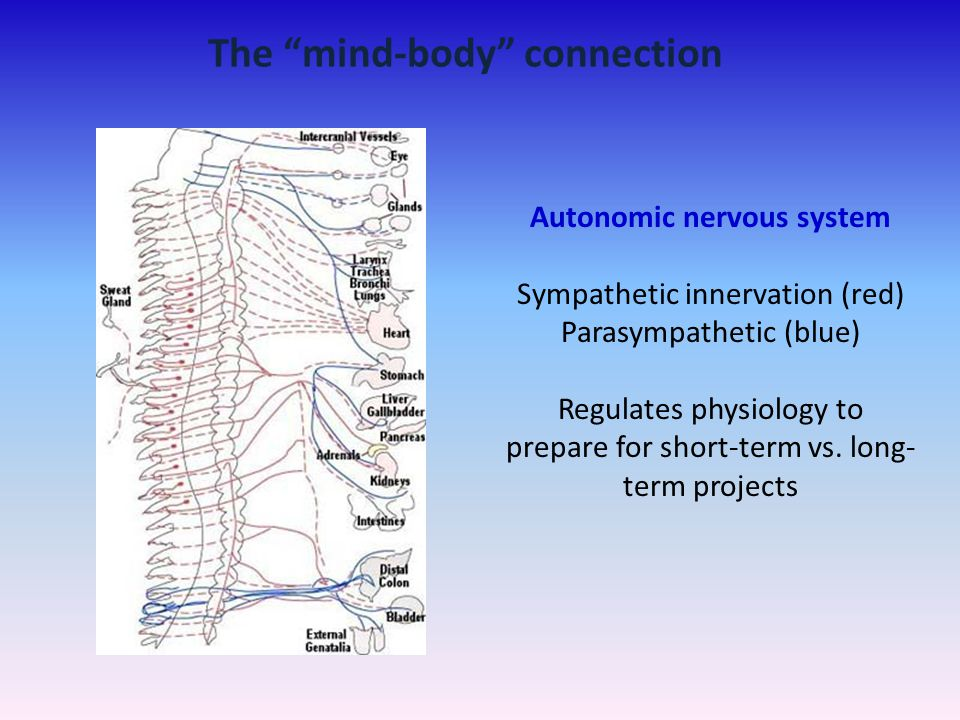The mind-body connection Autonomic nervous system
