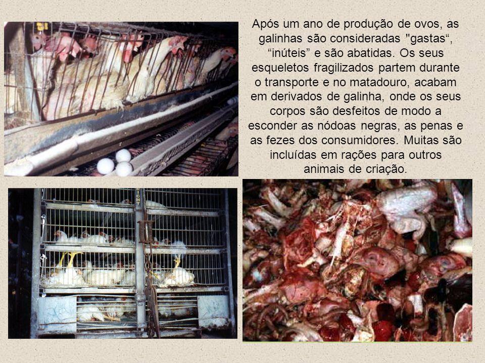 Após um ano de produção de ovos, as galinhas são consideradas gastas , inúteis e são abatidas.