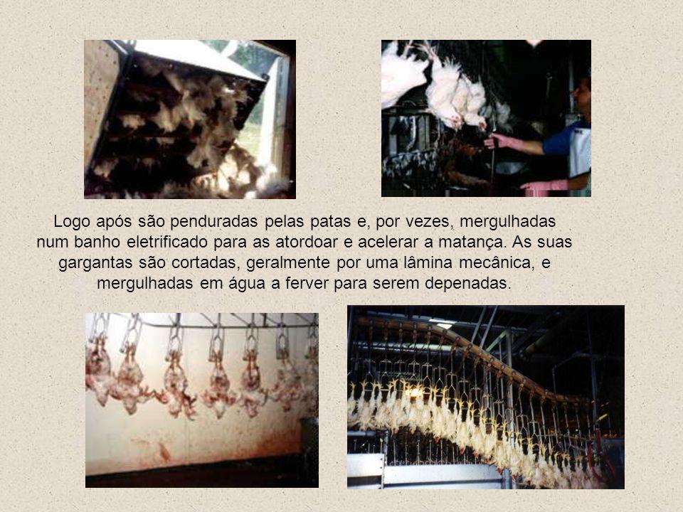 Logo após são penduradas pelas patas e, por vezes, mergulhadas num banho eletrificado para as atordoar e acelerar a matança.