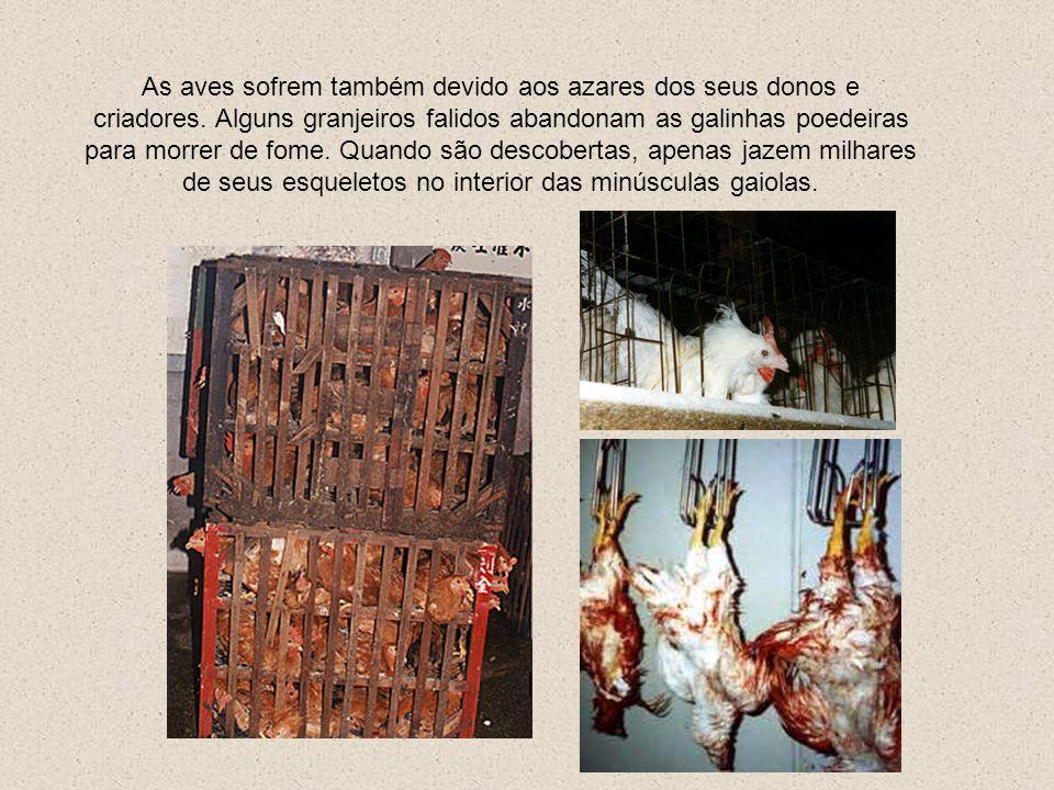 As aves sofrem também devido aos azares dos seus donos e criadores