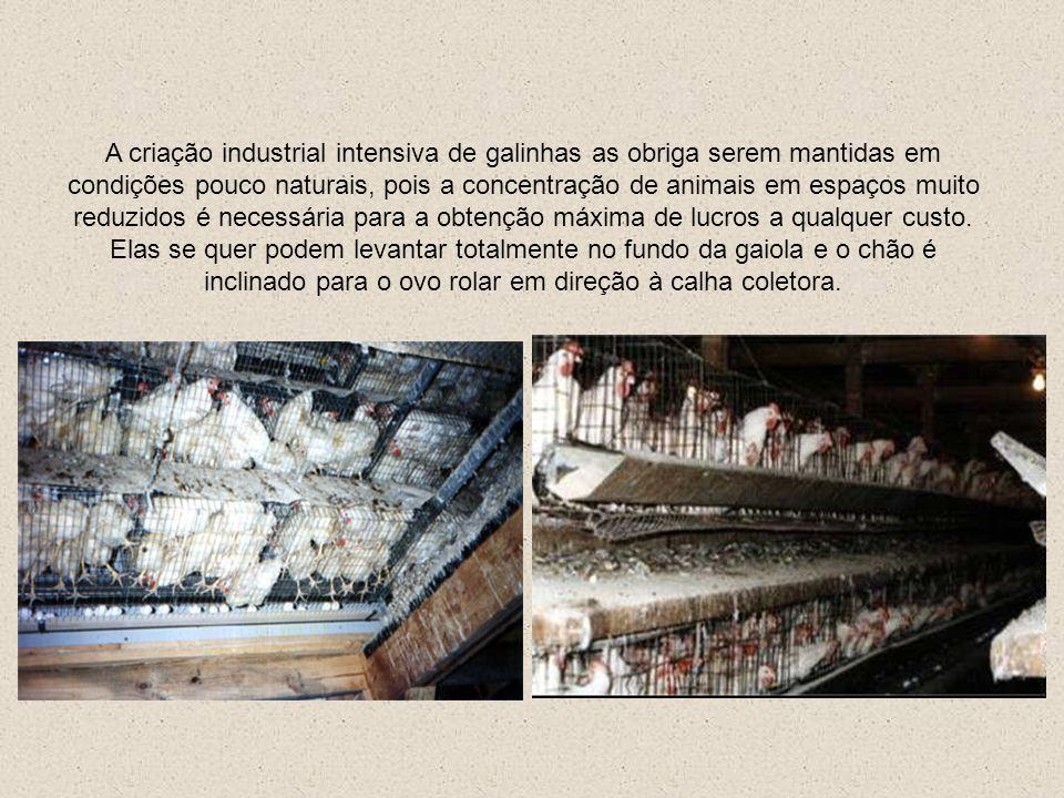 A criação industrial intensiva de galinhas as obriga serem mantidas em condições pouco naturais, pois a concentração de animais em espaços muito reduzidos é necessária para a obtenção máxima de lucros a qualquer custo.