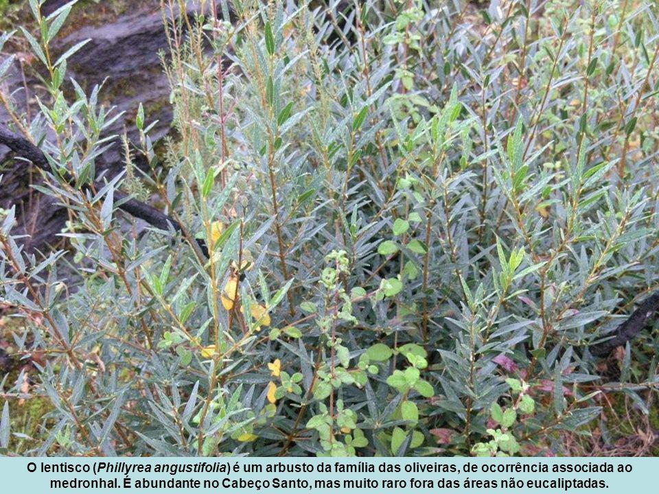 O lentisco (Phillyrea angustifolia) é um arbusto da família das oliveiras, de ocorrência associada ao medronhal.