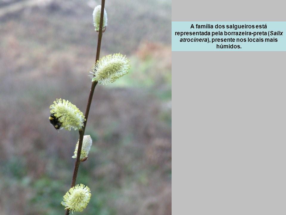 A família dos salgueiros está representada pela borrazeira-preta (Salix atrocinera), presente nos locais mais húmidos.
