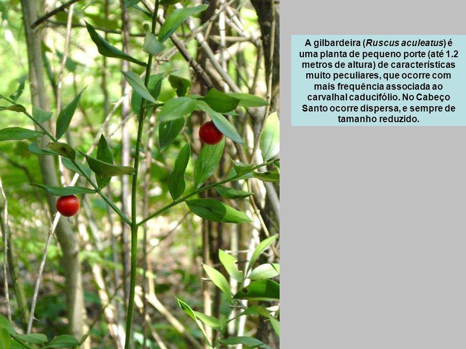 A gilbardeira (Ruscus aculeatus) é uma planta de pequeno porte (até 1