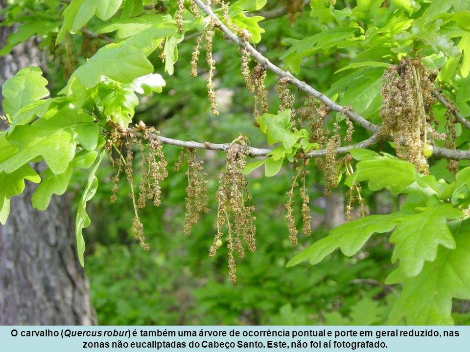 O carvalho (Quercus robur) é também uma árvore de ocorrência pontual e porte em geral reduzido, nas zonas não eucaliptadas do Cabeço Santo.
