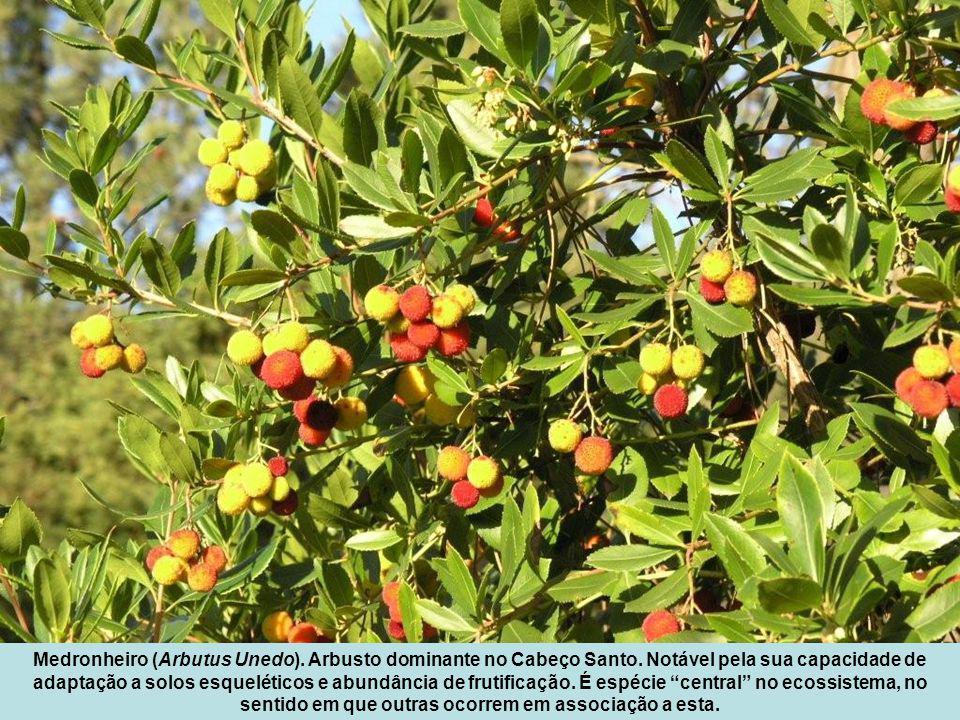 Medronheiro (Arbutus Unedo). Arbusto dominante no Cabeço Santo
