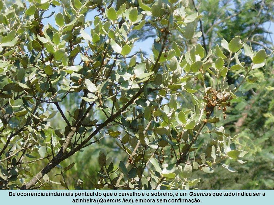 De ocorrência ainda mais pontual do que o carvalho e o sobreiro, é um Quercus que tudo indica ser a azinheira (Quercus ilex), embora sem confirmação.