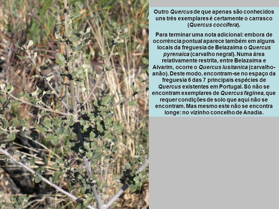 Outro Quercus de que apenas são conhecidos uns três exemplares é certamente o carrasco (Quercus coccifera).