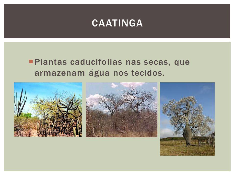 Caatinga Plantas caducifolias nas secas, que armazenam água nos tecidos.