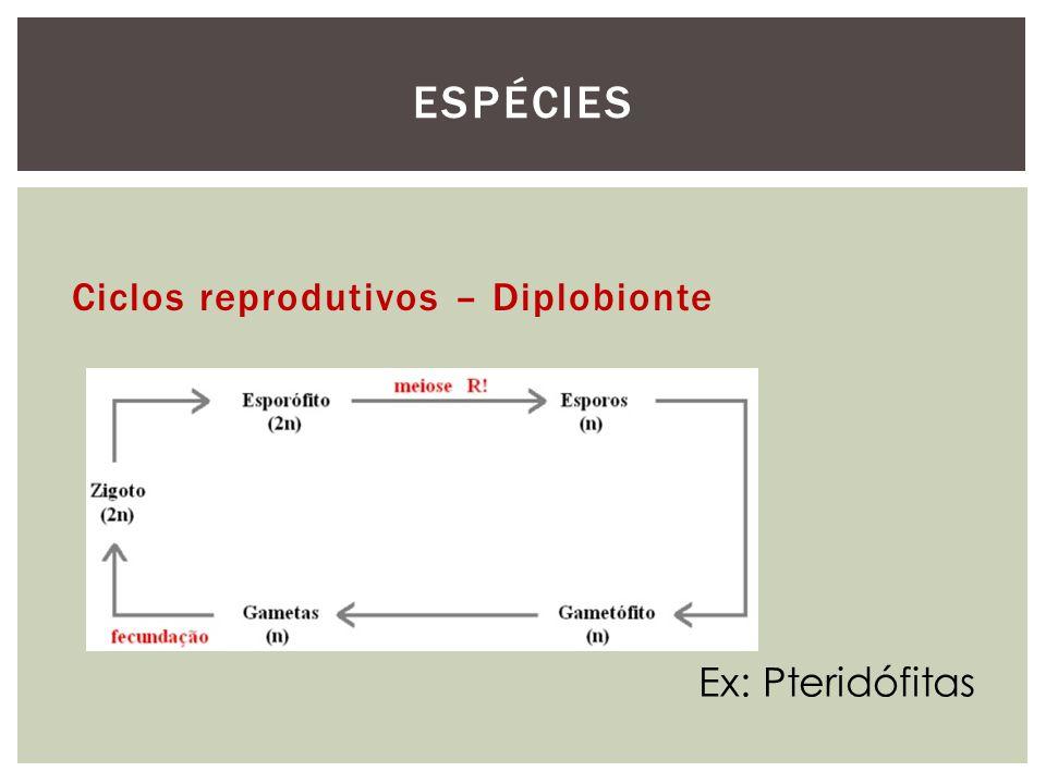 Espécies Ciclos reprodutivos – Diplobionte Ex: Pteridófitas
