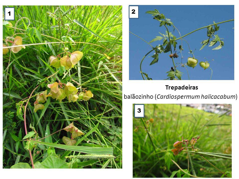balãozinho (Cardiospermum halicacabum)