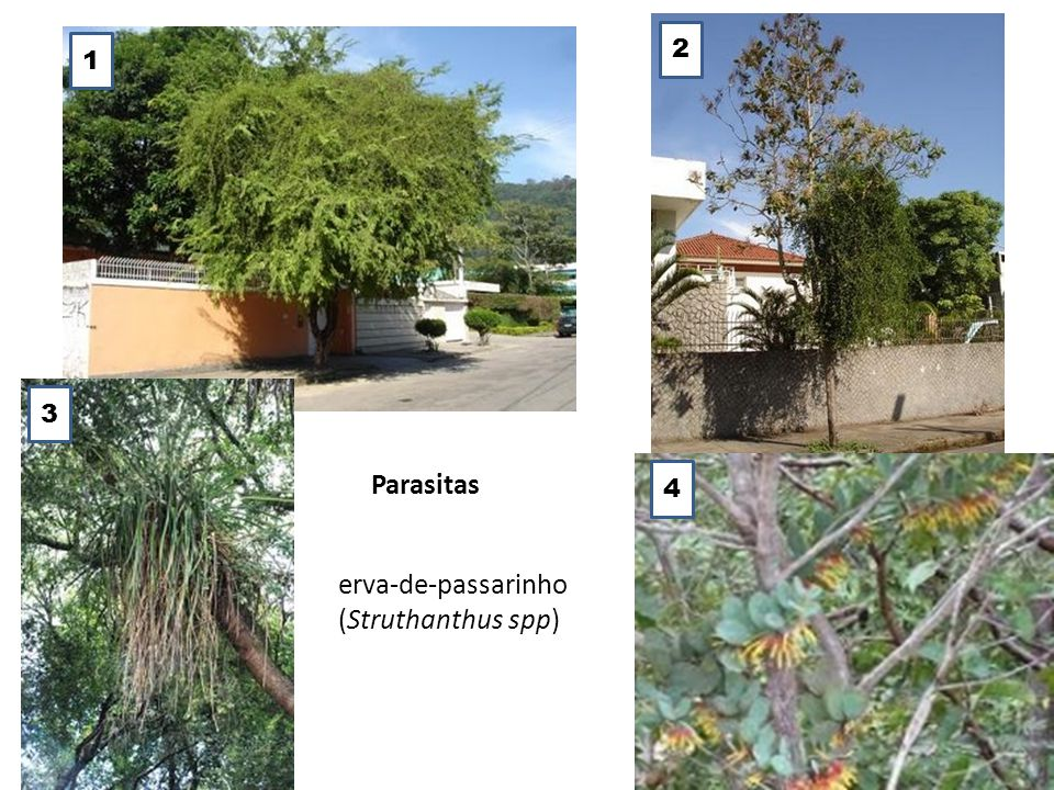 2 1 3 Parasitas 4 erva-de-passarinho (Struthanthus spp)