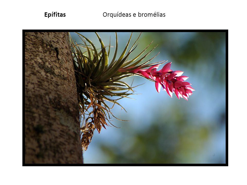 Epífitas Orquídeas e bromélias