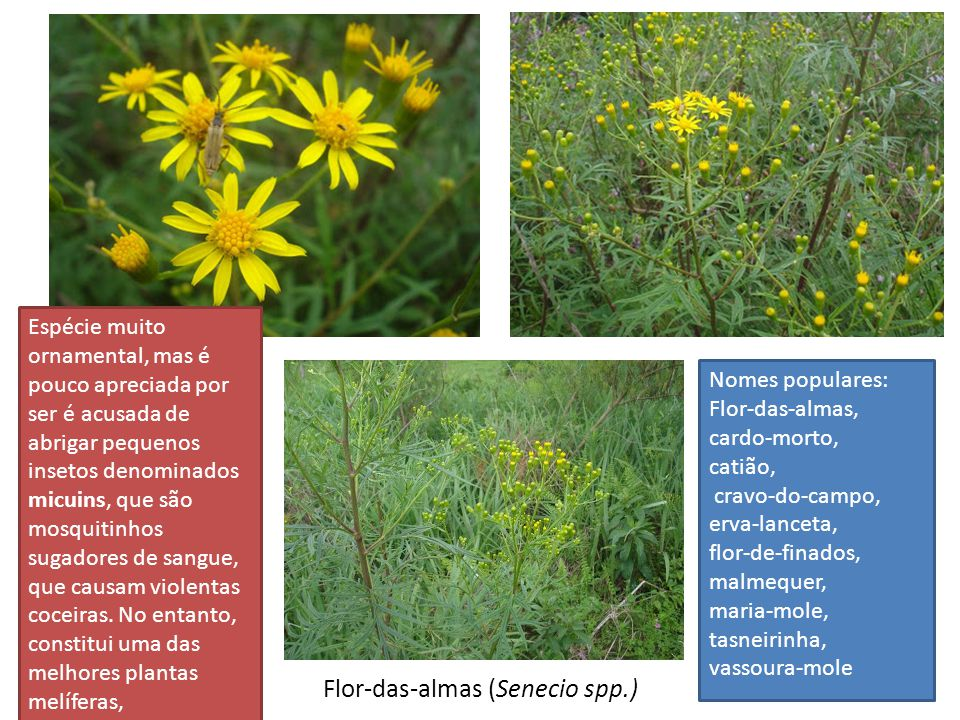 Flor-das-almas (Senecio spp.)
