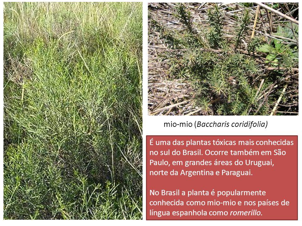 mio-mio (Baccharis coridifolia)