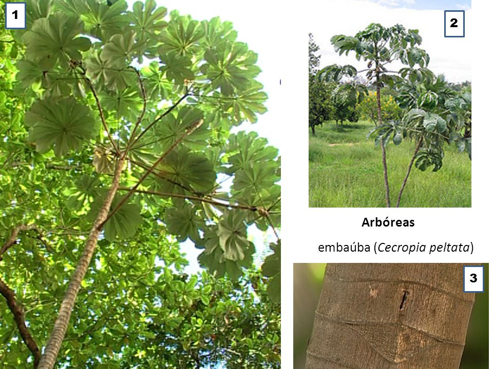 embaúba (Cecropia peltata)