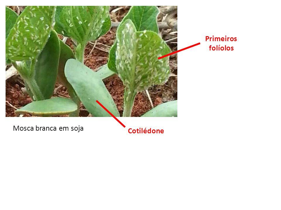Primeiros folíolos Mosca branca em soja Cotilédone