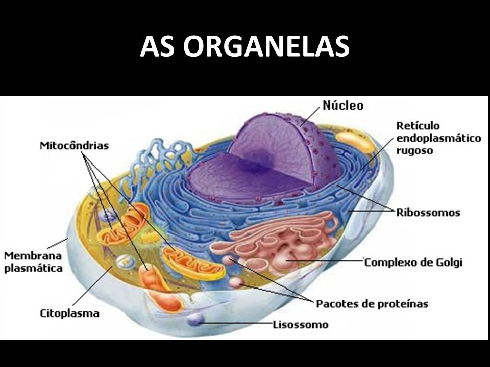 AS ORGANELAS
