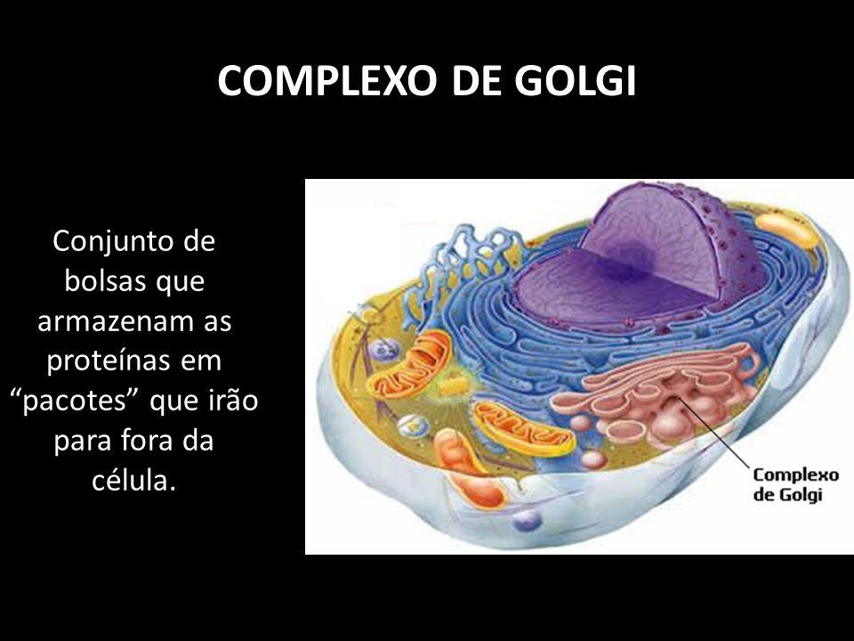 COMPLEXO DE GOLGI Conjunto de bolsas que armazenam as proteínas em pacotes que irão para fora da célula.