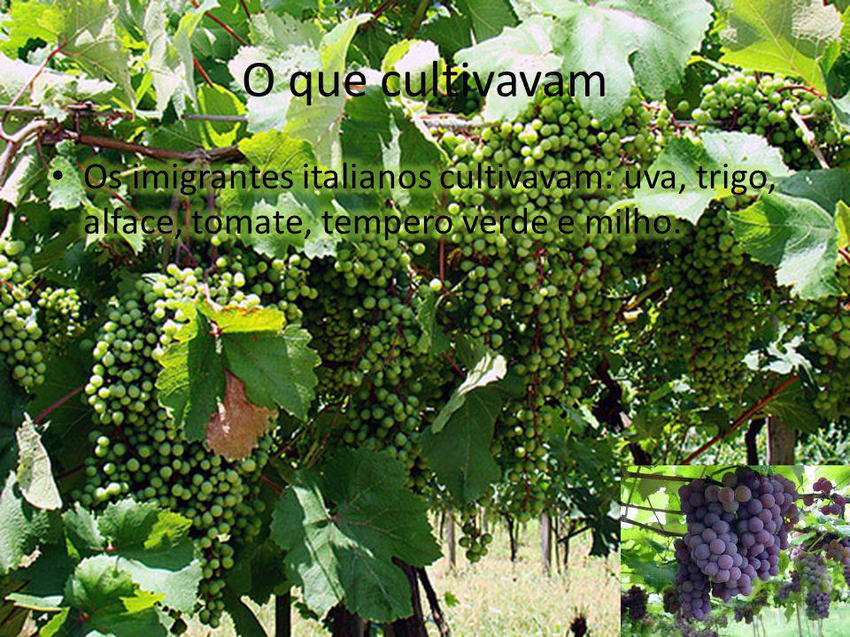 O que cultivavam Os imigrantes italianos cultivavam: uva, trigo, alface, tomate, tempero verde e milho.