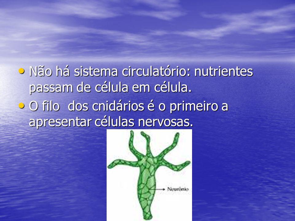 Não há sistema circulatório: nutrientes passam de célula em célula.