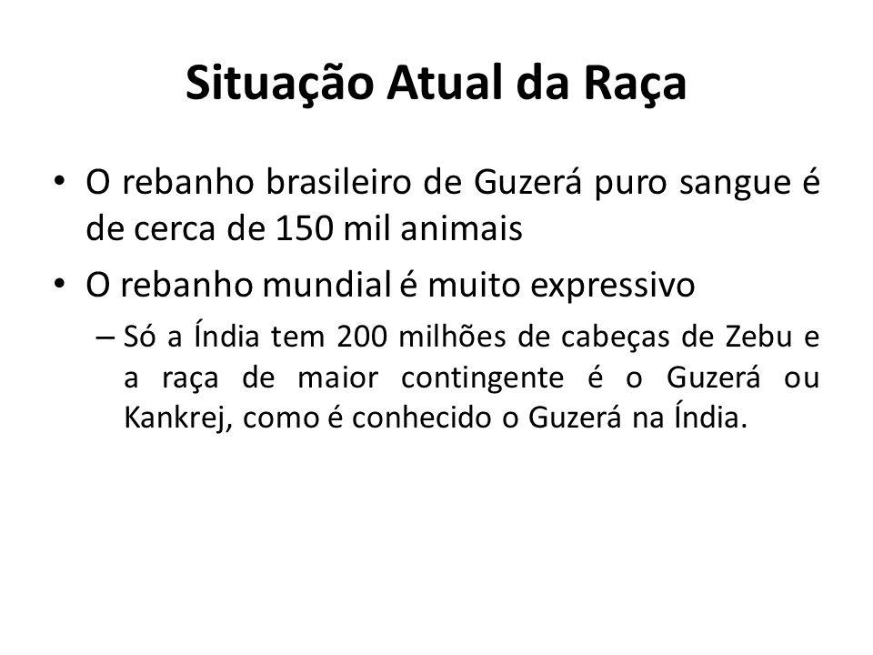 Situação Atual da Raça O rebanho brasileiro de Guzerá puro sangue é de cerca de 150 mil animais. O rebanho mundial é muito expressivo.