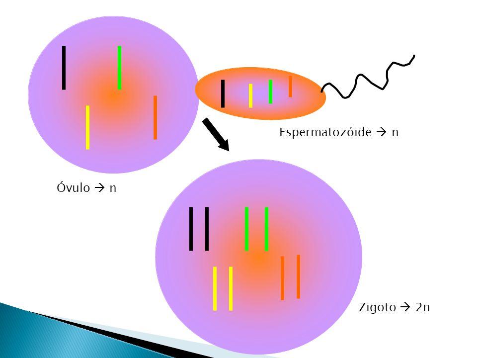 Espermatozóide  n Óvulo  n Zigoto  2n