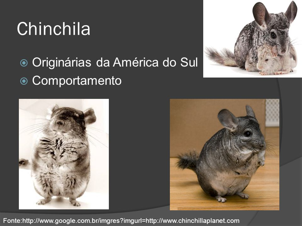 Chinchila Originárias da América do Sul Comportamento